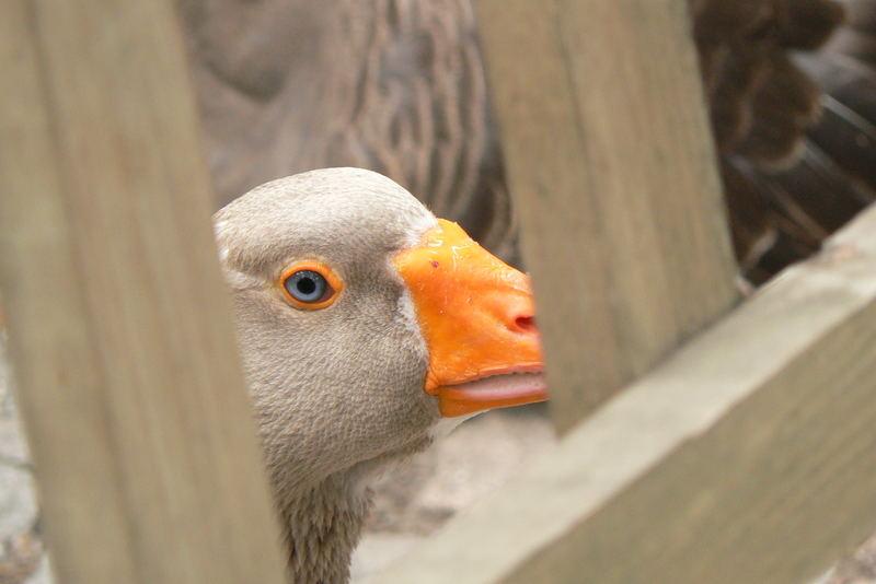 Goose eyes