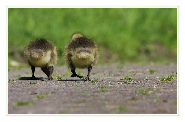 goose-walk