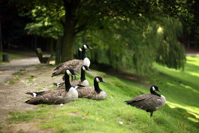 GooseWatching