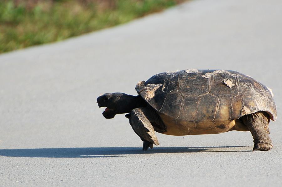 Gopher Tortoise - Gopherus polyphemus ..