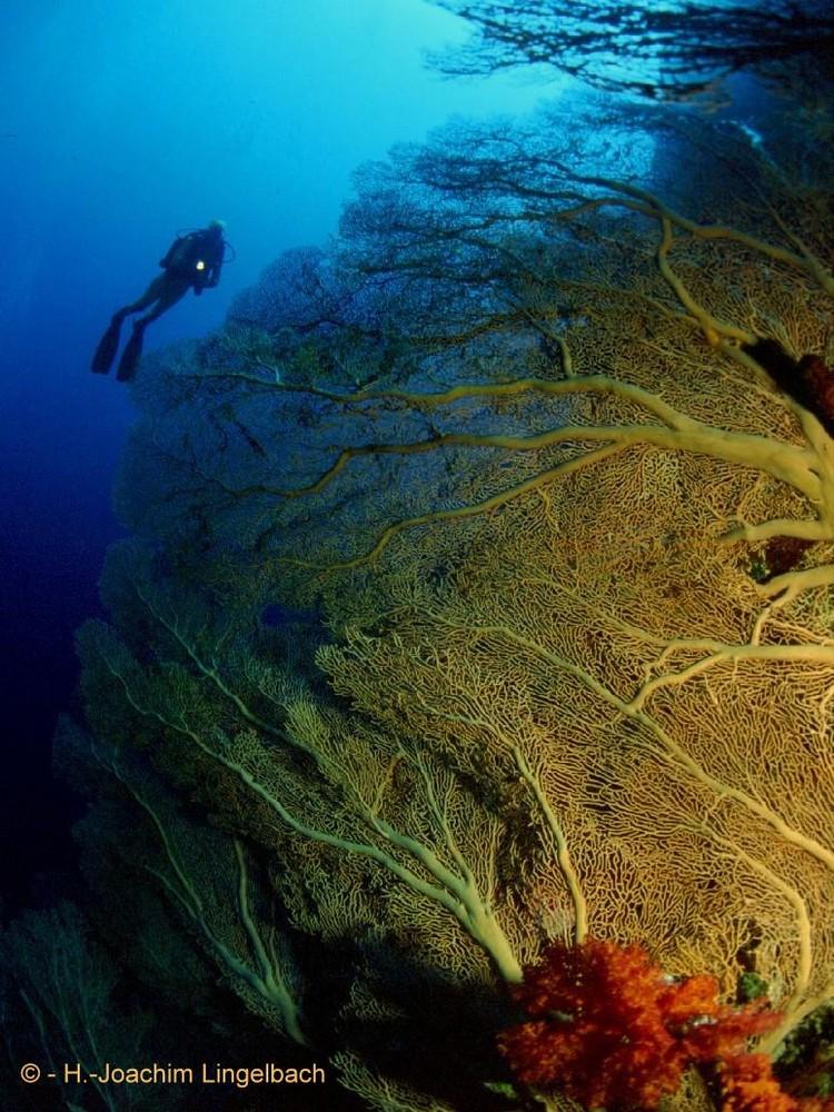 Gorgonien im Roten Meer, brothers