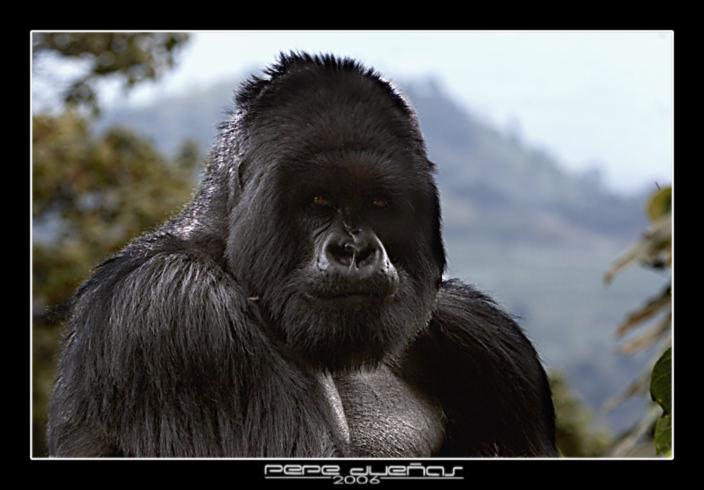 Gorila II