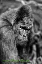 .Gorila in Nürnberg