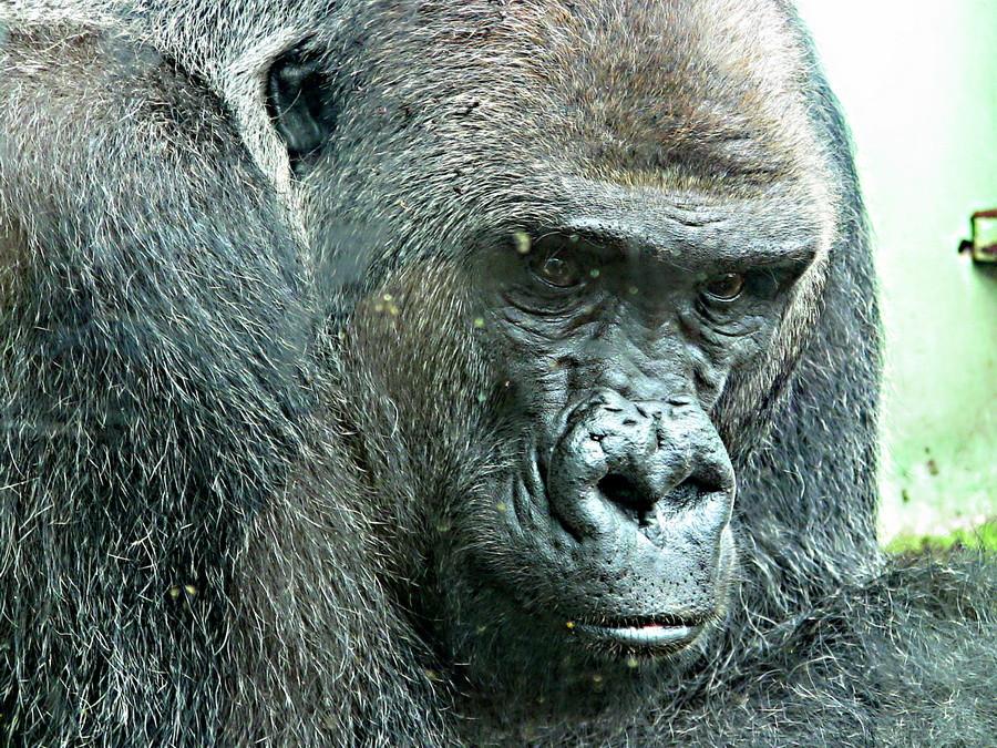 Gorilla-Dame
