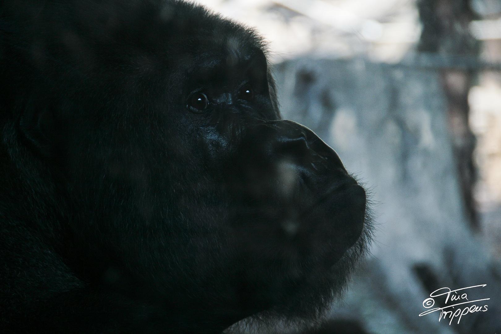 Gorilla Dame im Zoo Frankfurt