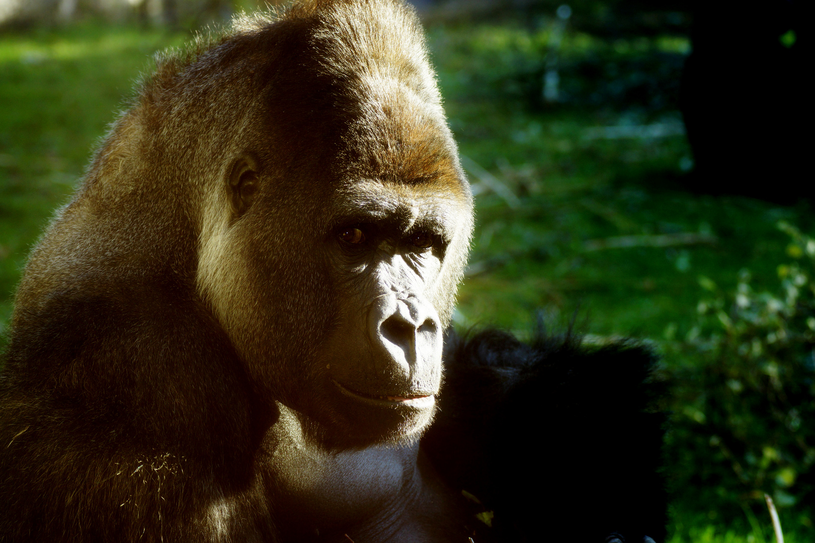 Gorilla ganz porno