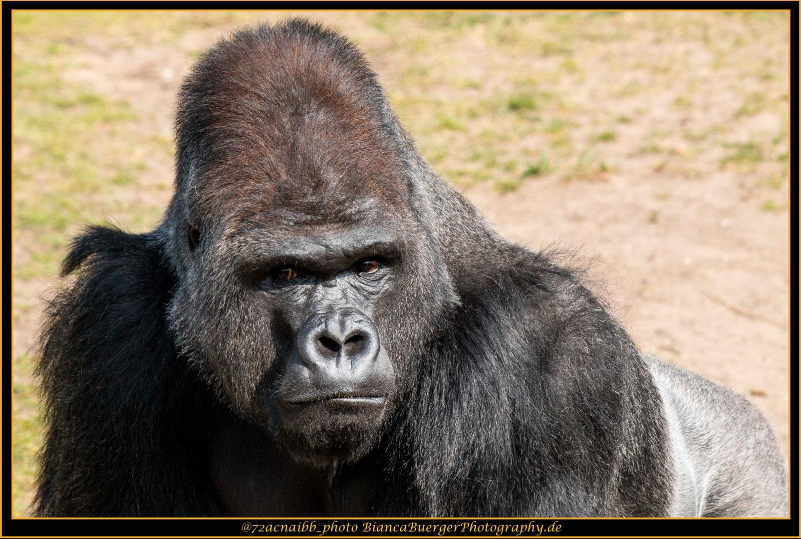 Gorilla Ibo