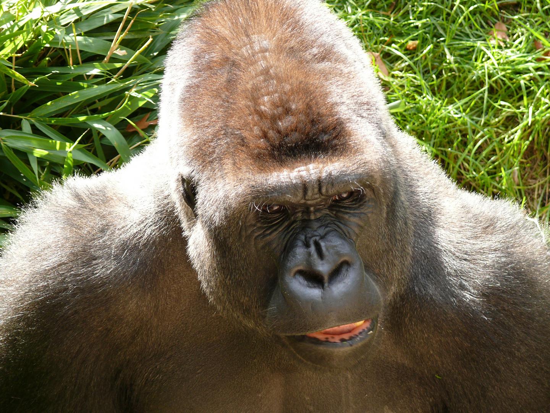 Gorilla im Duisburger Zoo