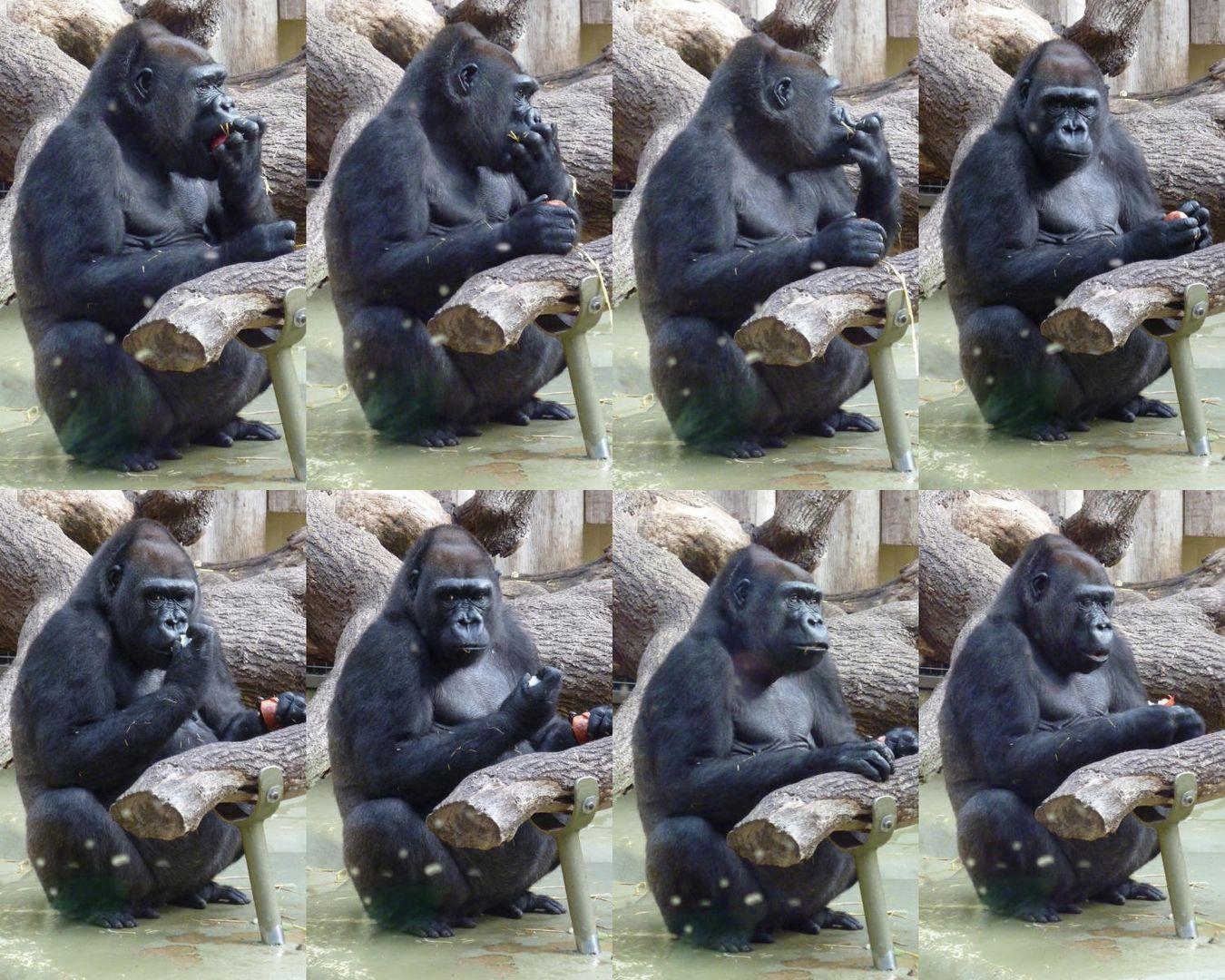Gorilla im Kölner Zoo beim 2. Frühstück_