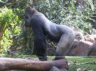 Gorilla im Loro Park