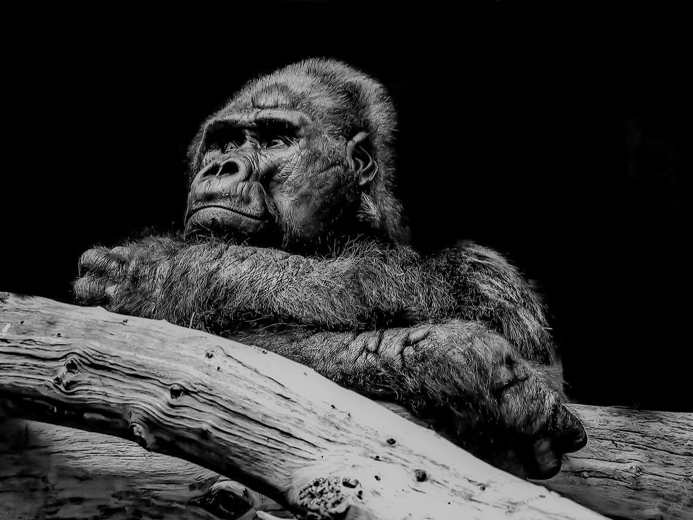 Gorilla im Zoo Krefeld