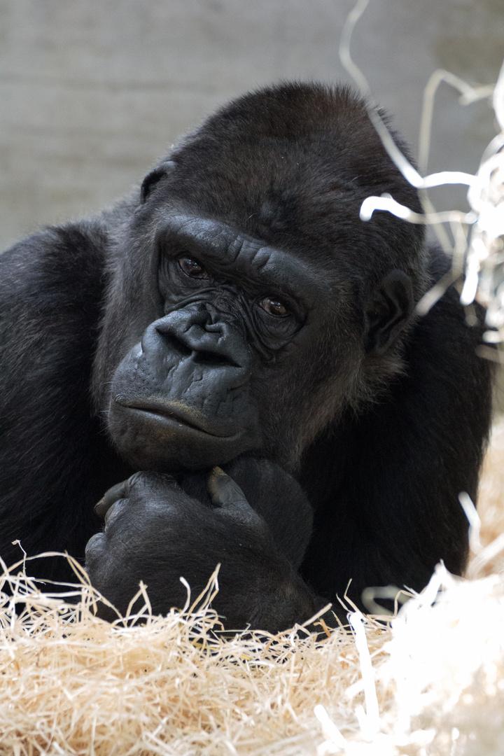 Gorilla in der Wilhelma Stuttgart