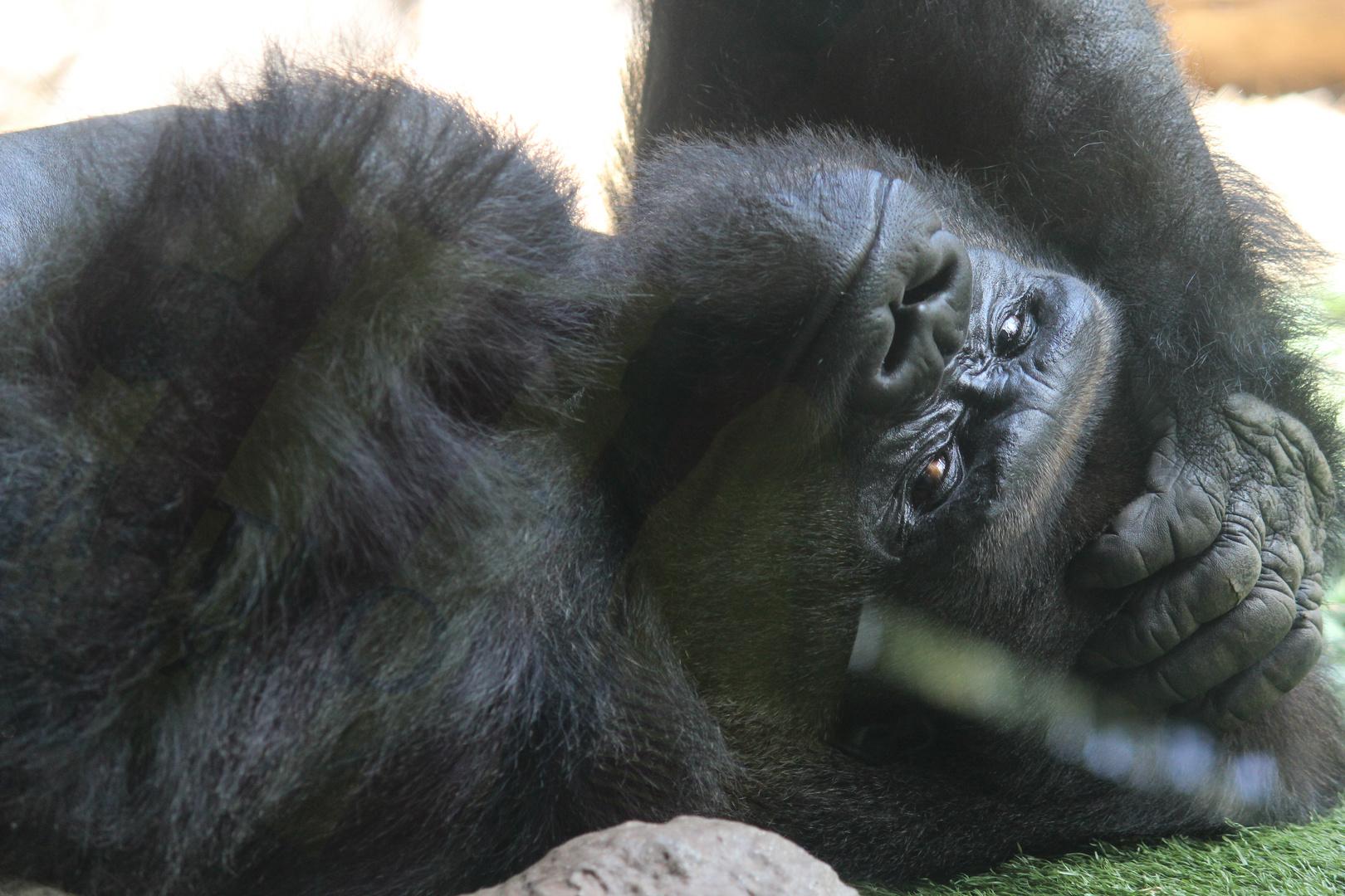 Gorilla in Pose