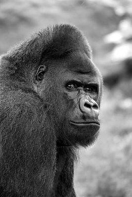 Gorilla in SW