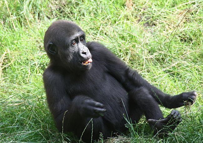 Gorilla Junges im Duisburger Zoo