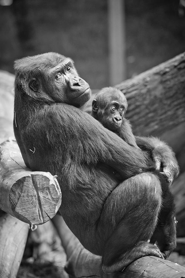 Gorilla Mutter und ihr Baby
