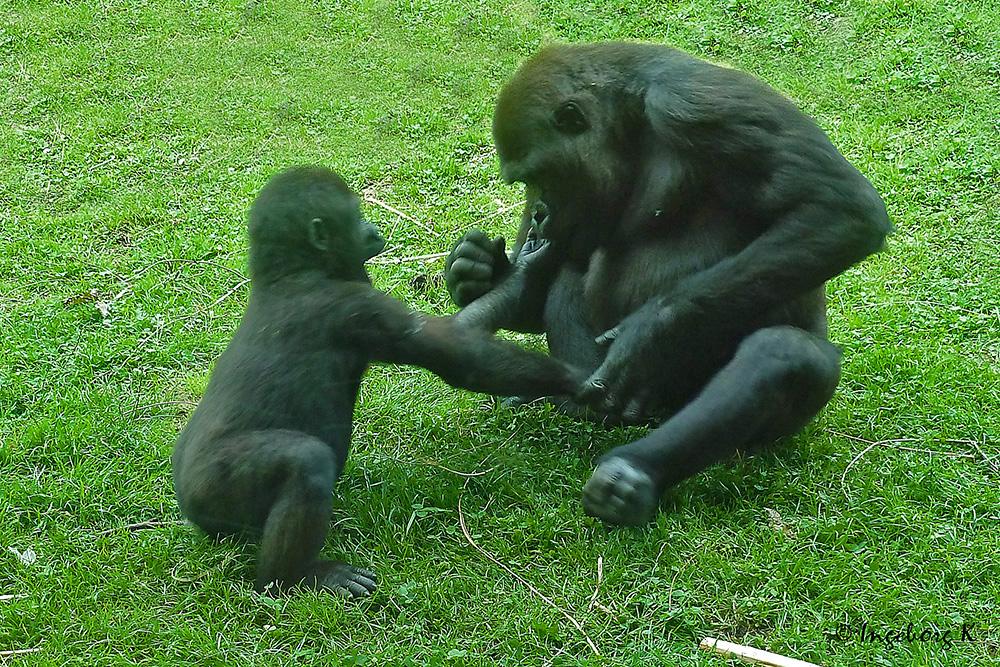 gorilla mutter und kind was hast du da fragt der kleine foto bild tiere zoo wildpark. Black Bedroom Furniture Sets. Home Design Ideas