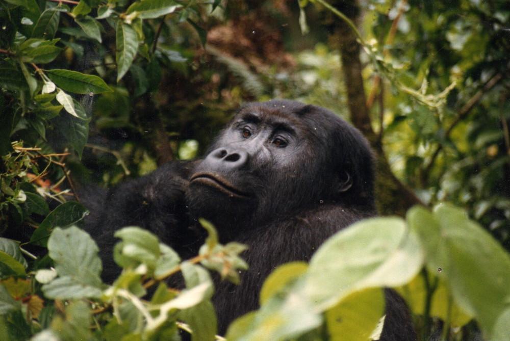 Gorilla noch nicht im Nebel