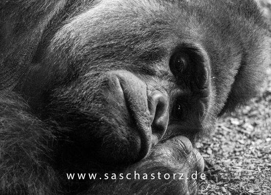 Gorilla - Silberrücken