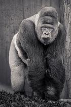 Gorilla SW 1