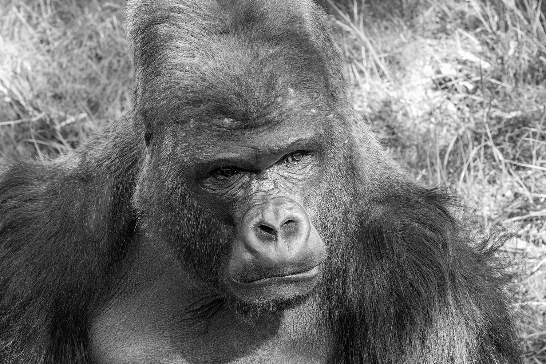 Gorilla SW