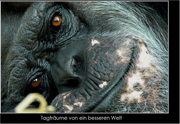 Gorilla - <Tagträumer>