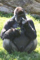 Gorilla zeigt was er denkt