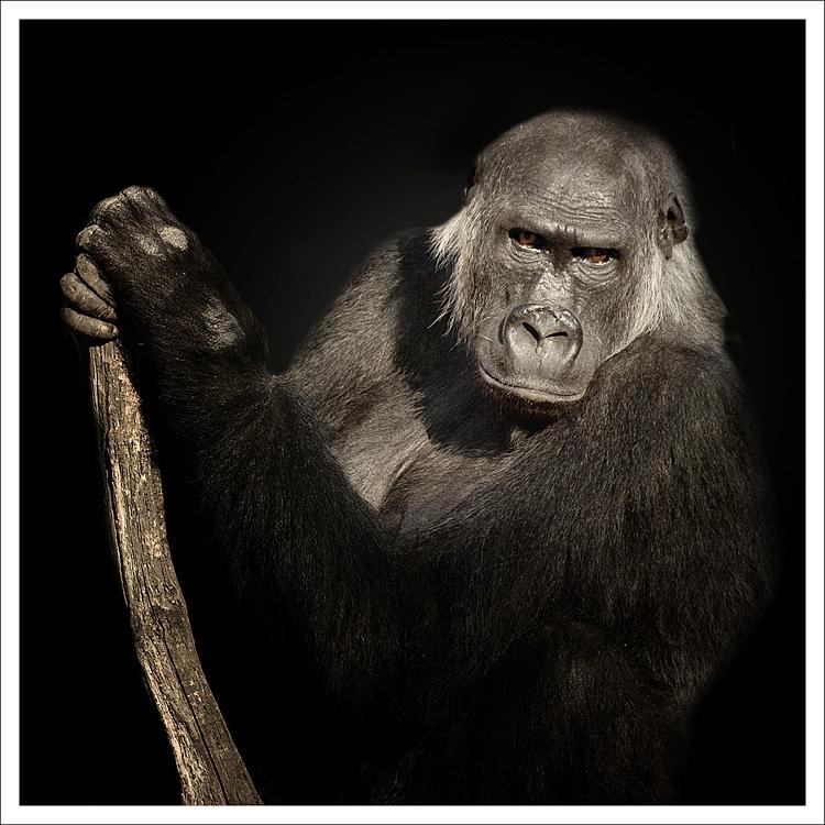 Gorilla - Zoo