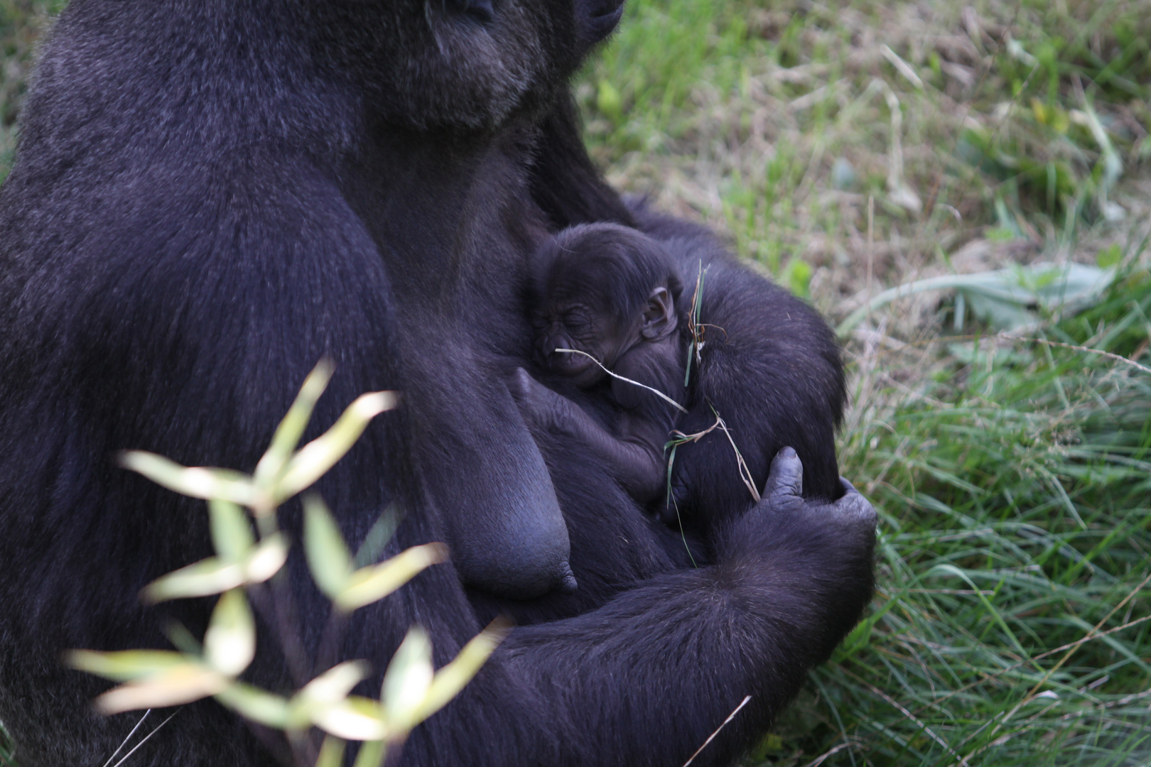 Gorillababy 1