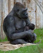 Gorillababy im Münsteraner Zoo verletzt !!