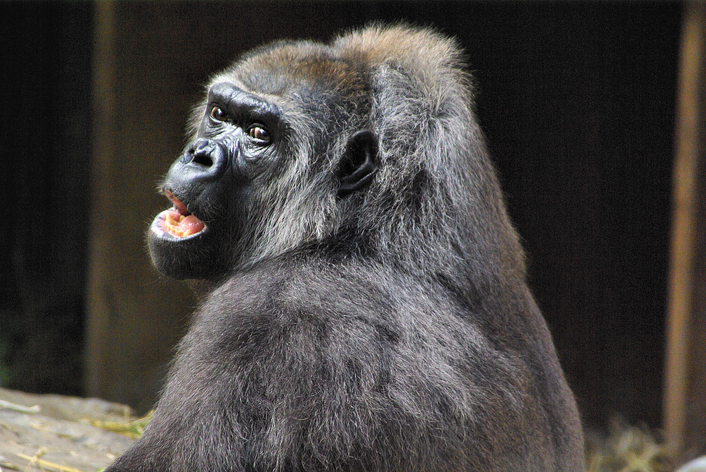 Gorilladame