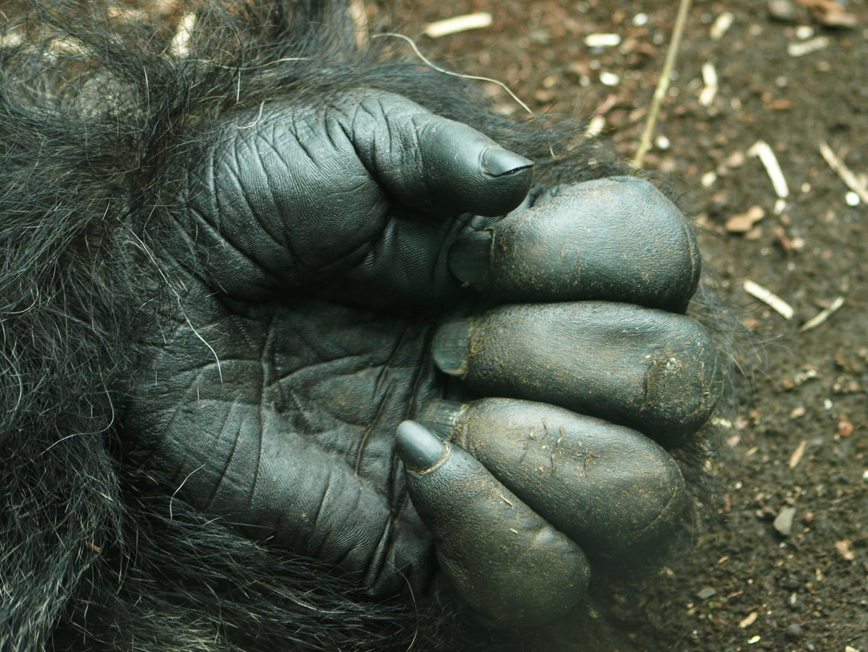 Gorillahand ...