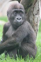 Gorillakind