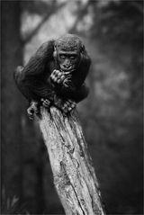 * Gorillalla *
