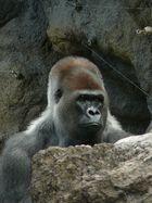 Gorillamännchen ...