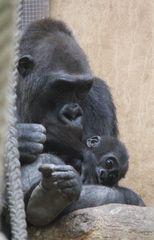 Gorilla_Nachwuchs 1