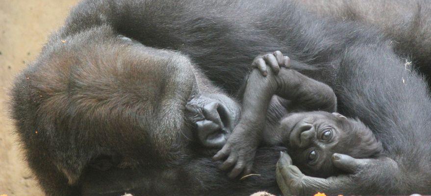 Gorilla_Nachwuchs 2