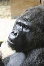 Gorillaportrait !!