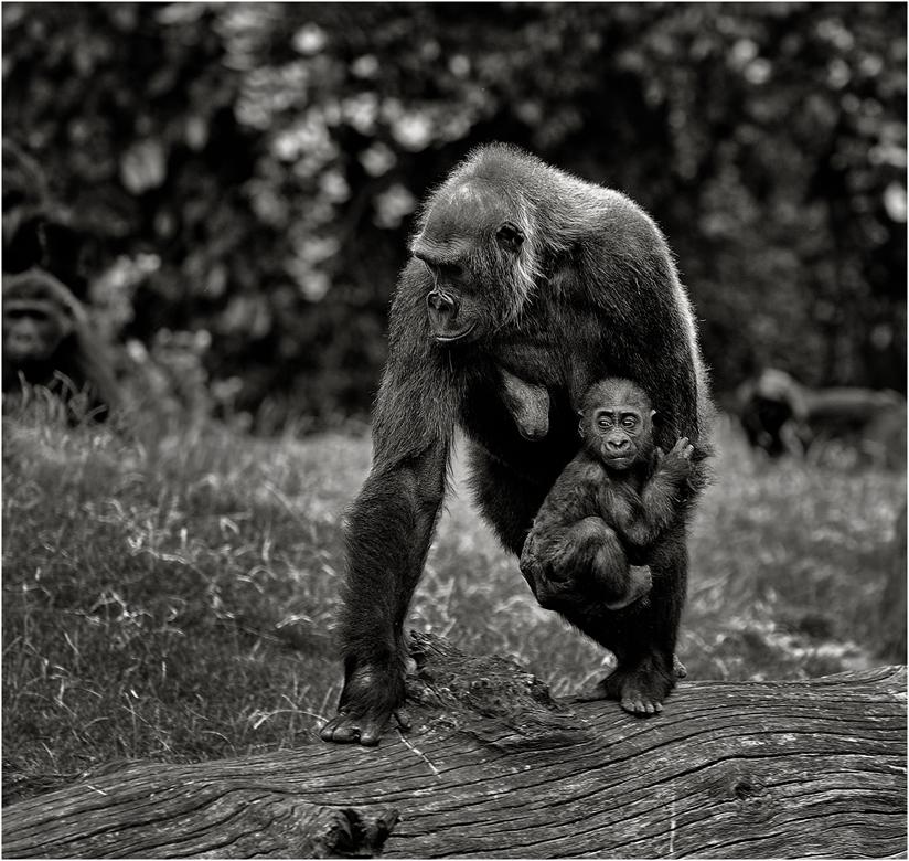 Gorillas I