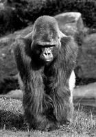 Gorillas SW
