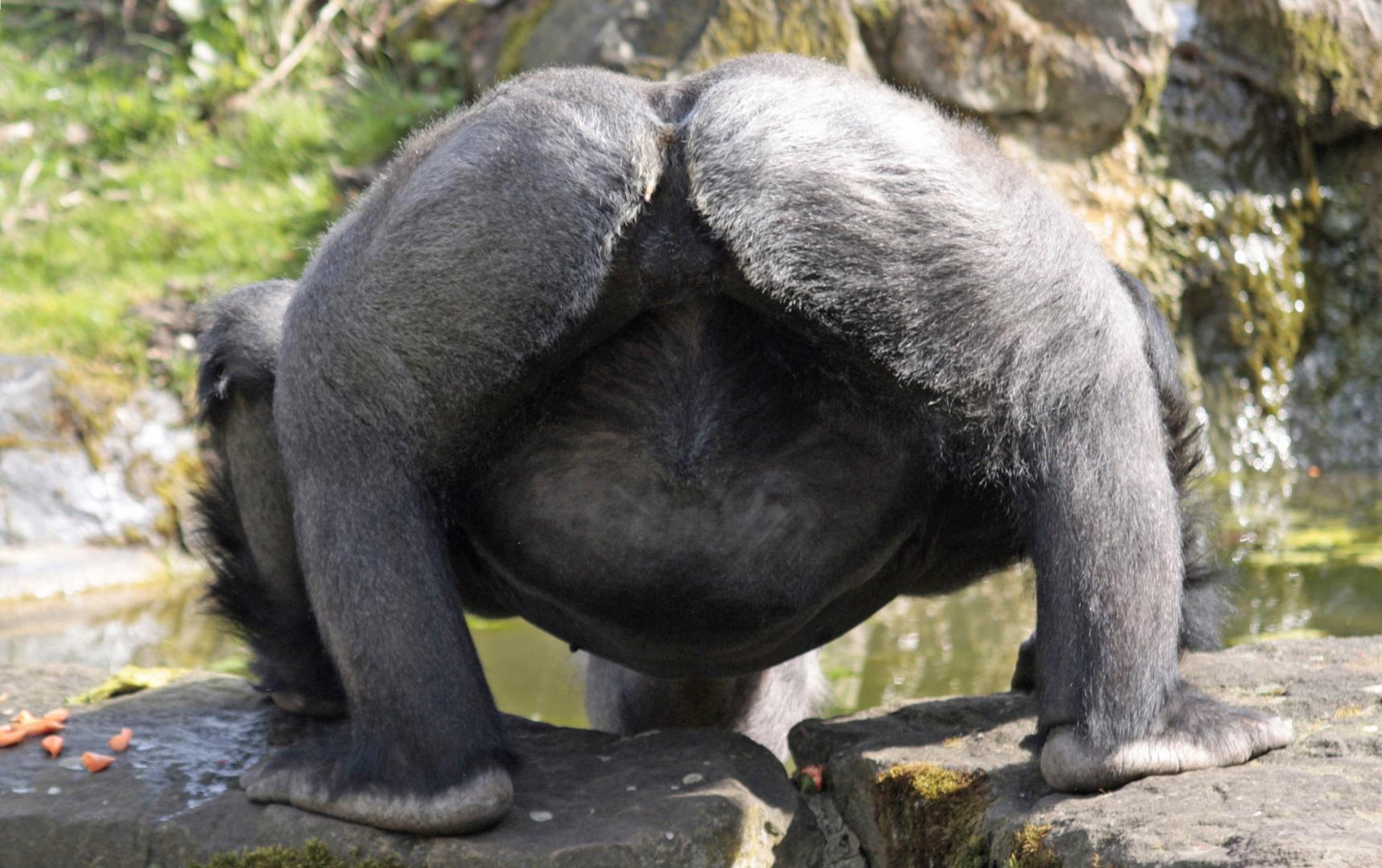 Gorillavater beim Frühschoppen...............