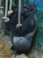 gorille de beauval