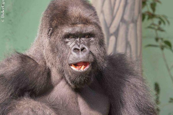 Gorille de la plaine