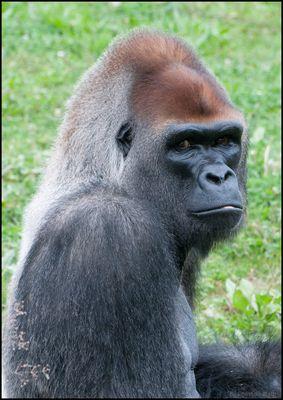 Gorille dos argenté