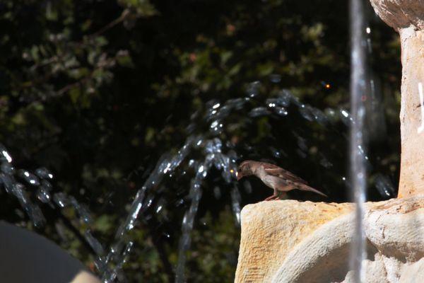 gorrión buscando agua
