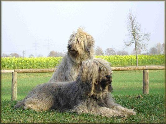 Gos d' Atura Amara-Bea & Berta