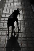 Gos de la Barceloneta