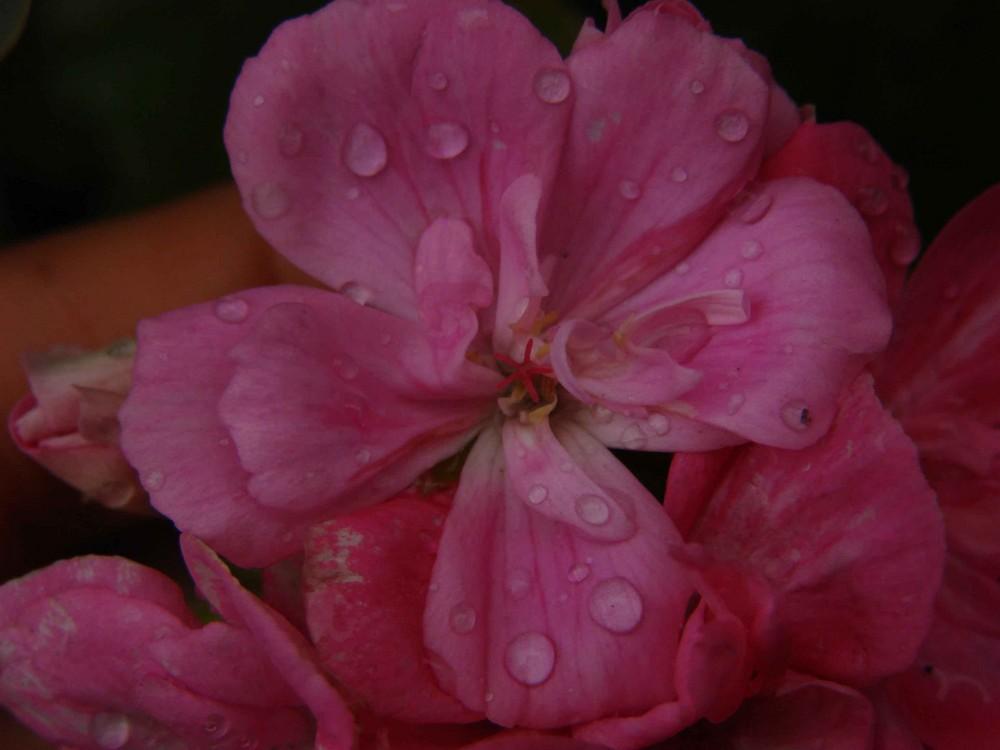 gotas rosadas