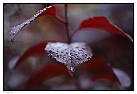 Gotas sobre hojas rojas