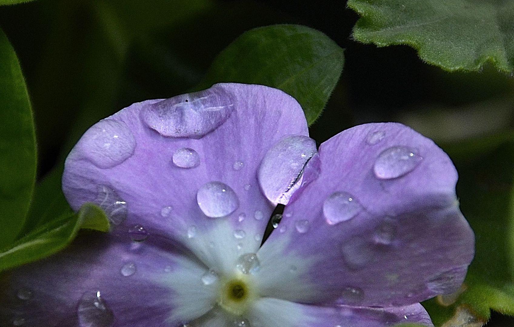 gotas violeta